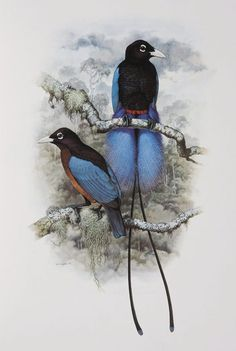 Male and female Blue Bird of Paradise from the 'Rituals of Seduction: Birds of Paradise' exhibition