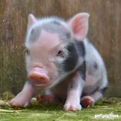 Mirror mirror on the wall, am I the cutest piggy of them all? www.petpiggies.co.uk