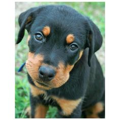Moses the Rottweiler ❤ liked on Polyvore featuring animals, dogs and puppies