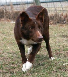 Smooth Red Border Collie.  Yup there's that posture...ready to jet into action.....