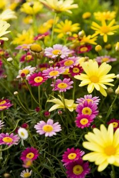 Marguerite Daisies! Great for borders and containers.  Loves full sun & cool weather so use it in early spring or fall containers. Deadhead to tidy it up, but it will nevertheless bloom without doing so.