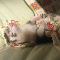 'just a comfy li'l ferret' Ferrets Care, Baby Ferrets, Funny Ferrets, Pet Ferret, Cute Little Animals, Cute Funny Animals, Pet Cage, Exotic Pets, Otters