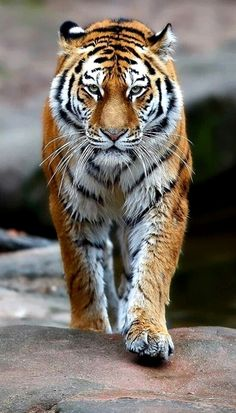 New male wallpaper white lock screen ideas, tiger # male … - tattoos sleeve Tiger Pictures, Animal Pictures, Tiger Fotografie, Big Cats, Cool Cats, Beautiful Cats, Animals Beautiful, Animals And Pets, Cute Animals