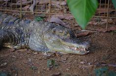 Una de nuestras caimanes ve a la cámara.