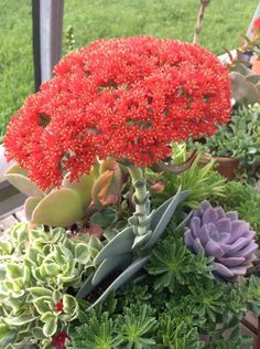 """2"""" Crassula Falcata Rooted Roots Rare SUCCULENT Cactus Beautiful Easy Grow GIft #ITWINZ"""