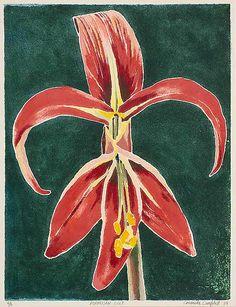 Cressida Campbell - Formosan Lily