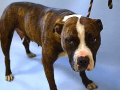 A1041537.JPG Gam Gam , 4 years old , looks like she has had pups in the past. She was no longer useful& when a pup in NYC people get rid of you. Animal cruelty