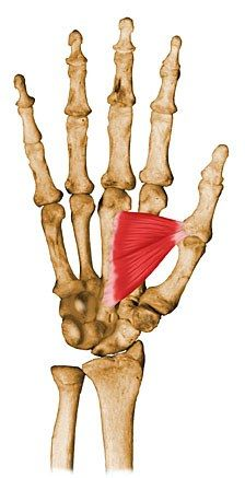 ADDUCTOR POLLICIS// Origin: anterior aspect of 3rd metacarpal and capitate// Insertion: anteromedial base of thumb proximal phalanx// Action: adducts thumb toward palm