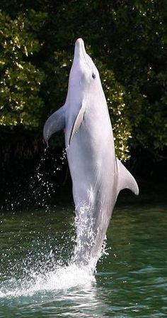 Port River, Adelaide, Australia~ A wild dolphin in Adelaide has been teaching other wild dolphins the art of 'tailwalking', a behaviour which is extremely rare in the wild but is a trick much loved by dolphinarium trainers all over the world.
