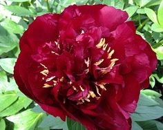 Peony Buckeye Belle - Early Midseason Hybrid, semi-double, extremely dark blackish red, good grower, good bush habit, it belongs on the `good list` of well paid cutflowers, American Peony Society Gold Medal 2010, Peony of the Year 2011, Award of Landscape Merit 2009, (Mains 1956).
