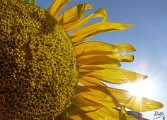 Girasol dorado al Sol   -Osuna