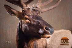 Taxidermy by B&B Taxidermy provides fine taxidermy for Trophy Game Rooms, African, North American and Exotic Mounts located in North Houston Texas The Woodlands Texas, Conroe Texas, Spring Texas, Room Wanted, Fallow Deer, Taxidermy, Elk, Moose, Exotic