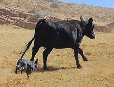 lancashire heeler dog photo | final step in eumelanin production, changing the final intermediate ...
