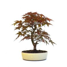 Acheter ce très beau Bonsaï Acer Palmatum Deshojo de 30 cm 140403 importé du Japon chez votre Spécialiste du Bonsai en Ligne, Sankaly Bonsaï