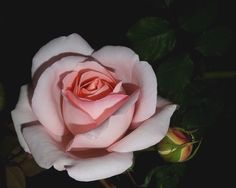 Rose by Nazia di on 500px