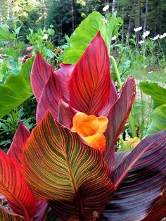 Tropical Canna Lily has bold and bright striped leaves and an orange flower in this garden image captured in New Hampshire, New England.