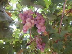 Damascus grapes