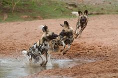 Gorgeous images of a pack of wild dogs at play near a waterhole within Limpopo-Lipadi Private Game Reserve in Tuli block, Botswana.