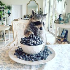 "86.8k Likes, 2,036 Comments - Pumpkin The Raccoon (@pumpkintheraccoon) on Instagram: """"It happens everytime...they all become blueberries."" ""You've really done it this time haven't…"""