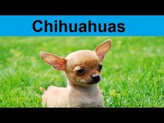 Adorable Chihuahua Puppies Compilation