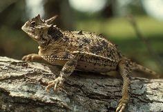 Link to Picture of Horned Lizard on a log  Grew up in South Texas when they were everywhere.