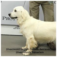 Silversword AKC English Golden Retriever Females - Silversword English Golden Retrievers