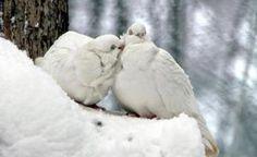 love pigeons  affection snowy bird winter pigeon branch