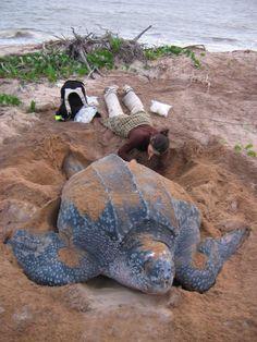 Tortuga Baula (Dermochelys coriácea)  La Baula es la tortuga más grande que existe. Es la que realiza las migraciones más largas: en promedio, más de 5.000 Km. entre una zona de alimentación y el sitio de reproducción. La grasa de su cuerpo y ciertas adaptaciones de su sistema circulatorio le dan la capacidad de aumentar su temperatura corporal lo cual le permite sobrevivir en aguas frías. Deposita unos 80 huevos por nido. Las tortuguitas salen al cabo de aproximadamente dos meses. Costa…