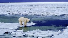 Polar bear on sea ice (click for article about close encounter)