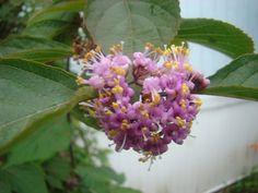 Callicarpa (Beauty Berry) in bloom