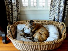 brindle greyhound - like the bedding idea for our dog