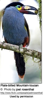 Birds Plate-billed Mountain-toucan