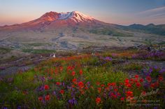 Mount St Helens wildflowers. Penstemon and Indian paintbrush.