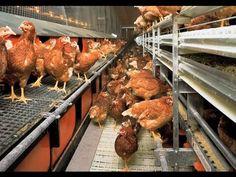 Implementación de la Bioseguridad en Granjas Avicolas - TvAgro por Juan ...
