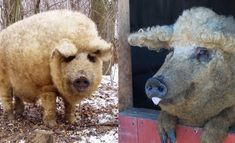The Mangalitsa Pig - a rare wooly Hungarian breed that looks like a sheep and acts like a dog.