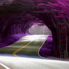 Tunnel of Trees, Highway 1, California - I've been up and down Highway 1 and I've never passed this. Wish I would have looks beautiful!