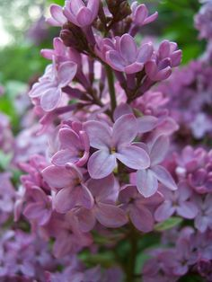 There were droves of lilac trees in blossom, and the fragrance was overwhelmingly powerful.