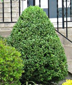 Buxus Or Boxwoods Are A Genus Of Evergreen Shrubs And Trees