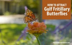Tips for attracting gulf fritillary butterflies to your garden.