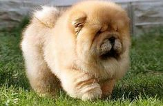 Chow Chow puppy – what a cutie! Chow Chow puppy – what a cutie! Cute Puppies Images, Puppy Images, Cute Dogs, Perros Chow Chow, Chow Chow Dogs, Chow Puppies, Fluffy Puppies, Dogs And Puppies, Doggies