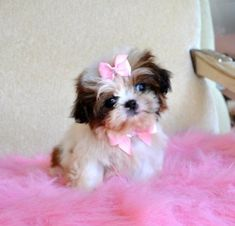 Imperial Shihtzu PuppySo Cute! 1.8  lb at 8 weeksSOLD