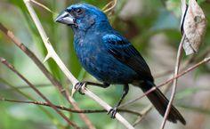 Azulão (Cyanocompsa brissonii) O azulão tem uma ampla distribuição no Brasil e é encontrado em todos os biomas do país, inclusiva na Caatinga. O sexo dos animais pode ser identificado pela cor: o macho é azulado (foto) e a fêmea é marrom.
