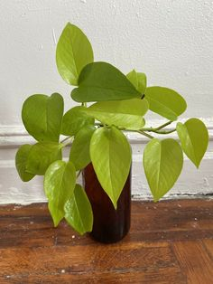 Lime neon pothos live plant houseplant, Epipremnum, Easy to Grow, Air Purify, cutting | eBay! #houseplants #homedecor #pothos