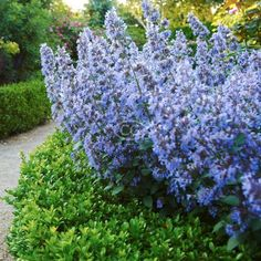 Nepeta × faasenii 'Blue Wonder' (Catmint 'Blue Wonder', Nepeta racemosa, N. mussinii , Faassen's Catmint) {24 Pots - 3 1/2 in.}