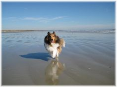 I wouldl love to take the shelties to the shore and let them run! They would love it!