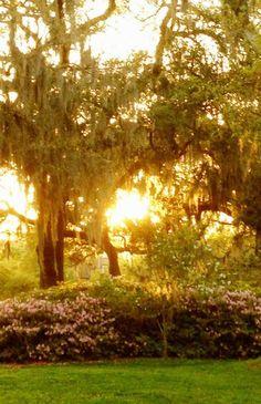 Dripping Spanish Moss as the sun sets in Savannah....