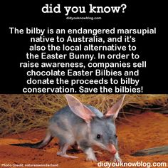 bilby is an endangered marsupial native to Australia, and it's also the local alternative to the Easter Bunny. In order to raise awareness, companies sell chocolate Easter Bilbies and donate the proceeds to bilby conservation. Save the bilbies! Aboriginal History, Aboriginal Education, Aboriginal Culture, Aboriginal People, Easter Bilby, Egg Facts, Year 2 Classroom, Australia Animals, Easter Chocolate