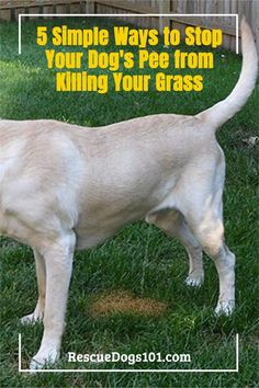 Is your dog pee killing your lawn? Learn what you need to do for a green lush yard again. Or is it even possible? Puppy Potty Training Tips, Dog Training, Rescue Puppies, Dog Urine, Dog Health Tips, Dogs 101, Dog Pee, Dogs And Kids, Family Dogs