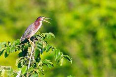 Green Heron by cmcneill17