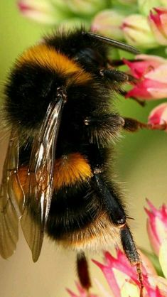 QueenBee, now I need a bee hive. Just think of all the wild honey. I Love Bees, Birds And The Bees, Beautiful Creatures, Animals Beautiful, Cute Animals, Bees And Wasps, Bee Art, Beautiful Bugs, Bugs And Insects